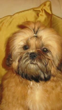 manchu shih tzu surianne show dogs