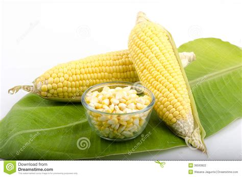 Corn L by Corn Maize Zea Mays L Stock Photography Image 36593822