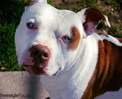 fotos de pitbull red nose 17 best images about pitpulls on pinterest pitbull red