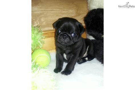 black pug puppies for sale near me pug puppy for sale near cleveland ohio 62d478a9 6d21