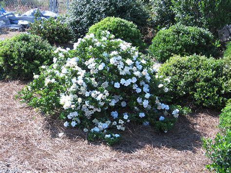 gardenia delivery buy gardenia gardenia crown jewel pbr delivery by