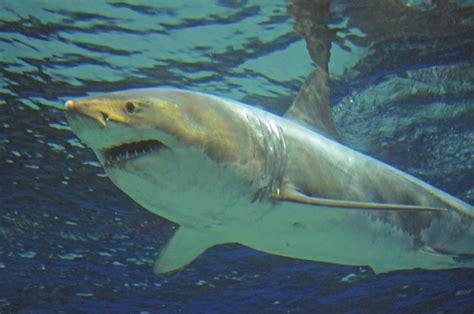japanese aquarium great white shark dies after just three days at okinawa