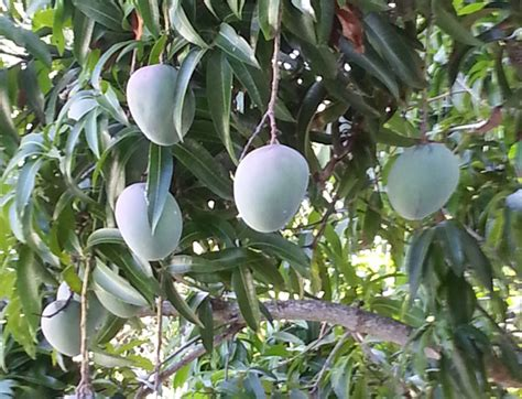 central florida fruit trees mango mania an authentic florida road trip authentic