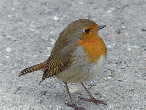 the robin britain s favourite bird british bird lovers