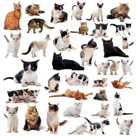 types of cats types of domestic cats types of