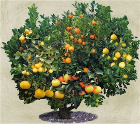 salad fruit tree a fruit tree with varieties of citrus on it now