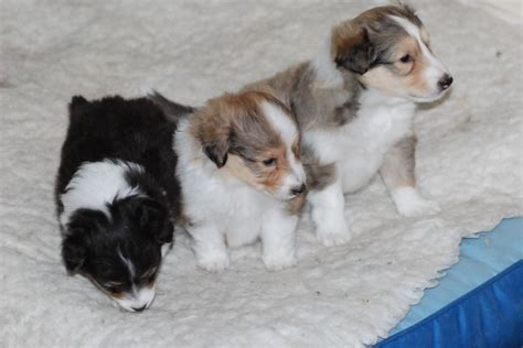sheepdog puppies for sale in pa shetland sheepdogs for sale in pennsylvania breeds picture
