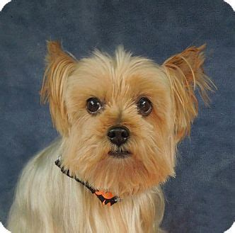 yorkie rescue carolina nc yorkie terrier meet alfie a for adoption