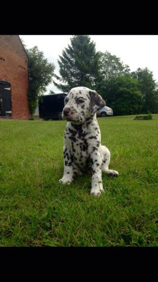 puppies for sale erie pa dalmatian puppies for sale erie pa 209057 petzlover