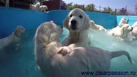 golden retrievers in pool golden retriever pups swimming in the pool for the time