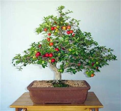 Flowering Shrubs Texas - 39 best images about barbados cherry on pinterest bonsai trees shrubs and in the family
