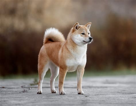 japanese dogs japanese shiba www pixshark images galleries with a bite