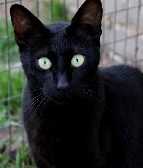Cats Flickr by Melanistic Cat See Www Pictures Of Cats Org