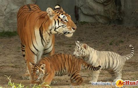imagenes de tigres de bengala fotos y videos tigre de bengala