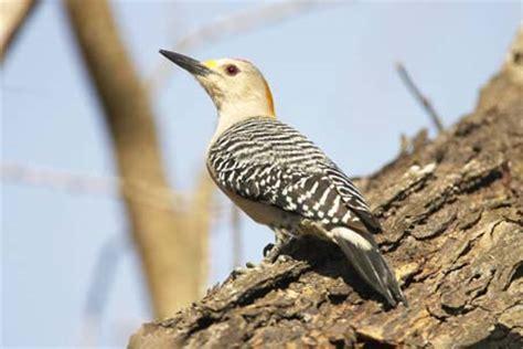 backyard bird identification pileated woodpecker downy