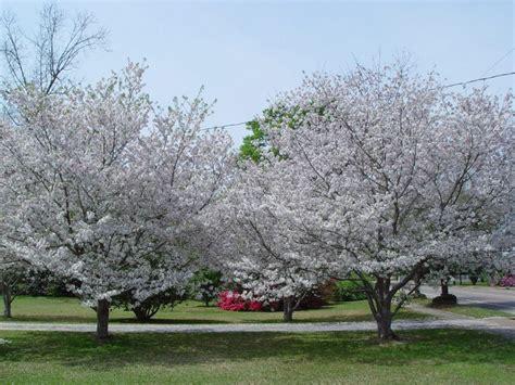cherry tree yoshino prunus yedoensis yoshino cherry leafland