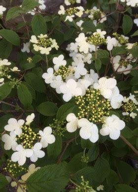 piante fioriscono a settembre viburnum plicatum quot watanabe quot arbusto con fiori bianchi