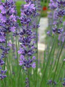 pruning lavender how to cut back lavender