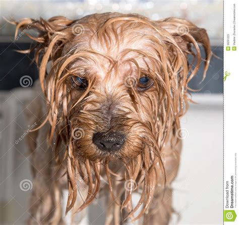 how to bathe yorkie puppy terrier after the bath stock photo image 39261223