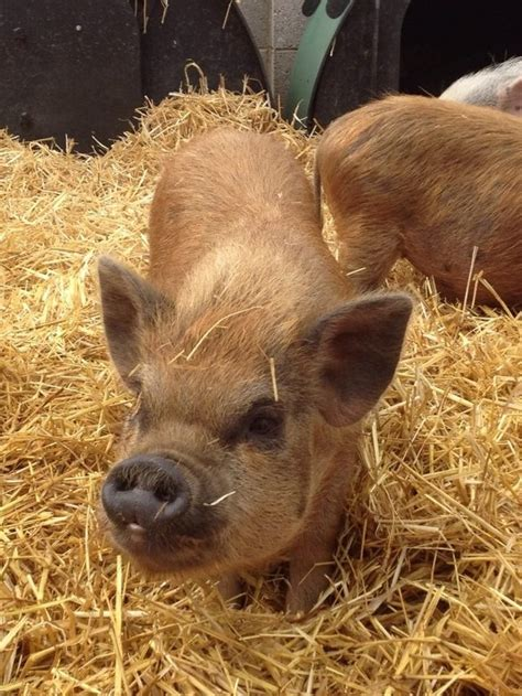 micro pigs for sale uk micro pigs for sale for sale in belper derbyshire preloved