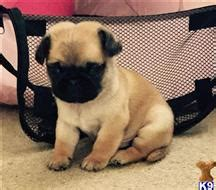 pugs for sale in milwaukee pug puppies for sale