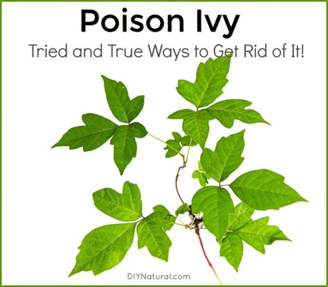 how to get rid of poison oak 28 images 25 best ideas