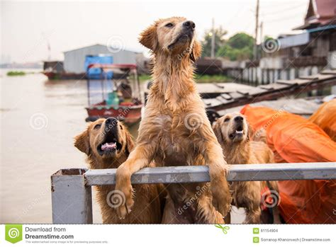 golden retriever owners golden retriever looking for the owner stock photo image 61154904