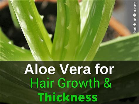 Masker Aloe Vera 25 best ideas about aloe vera hair growth on aloe vera hair mask aloe vera hair