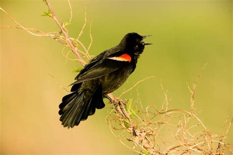 red winged blackbird mdc discover nature