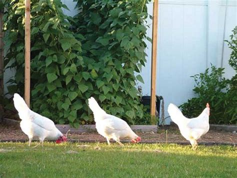 how to raise backyard chickens gardens landscaping