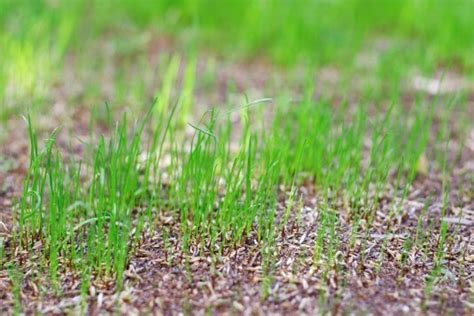 how to grow couch grass tips for growing grass by seed budget direct blog