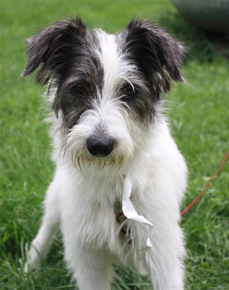 wire haired terrier shih tzu mix scout wire fox terrier mix 5 months rescue farm poland in http