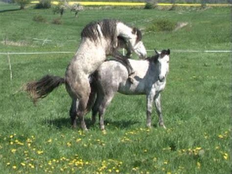 crazy horse mates cow quaterback wolkentanz donnerhall breeding stallion