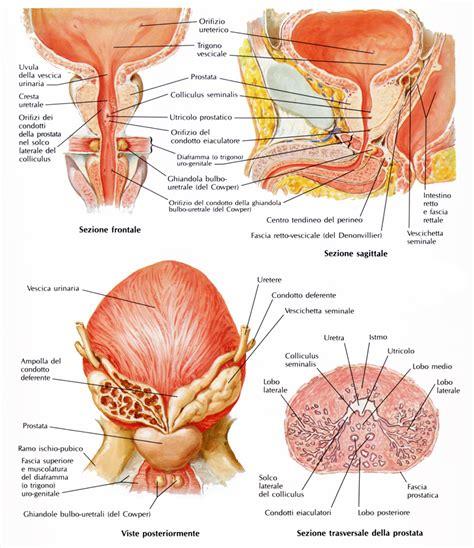 clitoride interno cos 232 la prostata studio urologico gallo