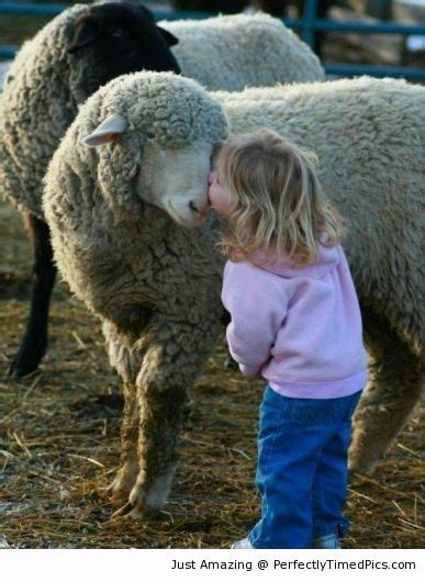 Madonna Is Not A Friend To The Sheep by Giving A Sheep A The Does Not Want To Leave