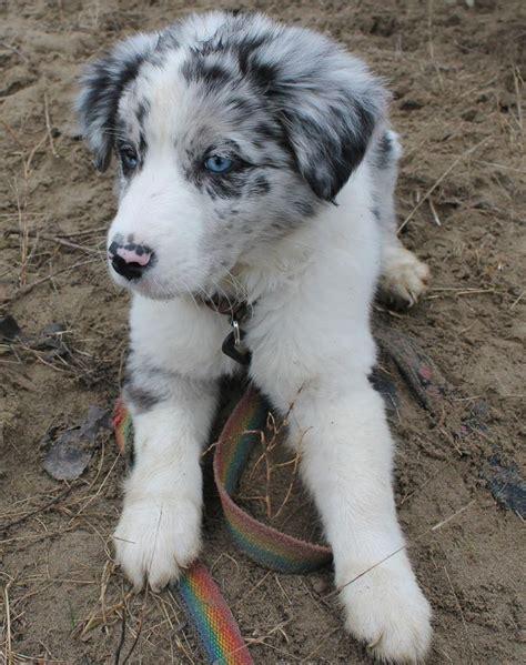 border doodle puppies for sale australia best 25 border collie pups ideas on border