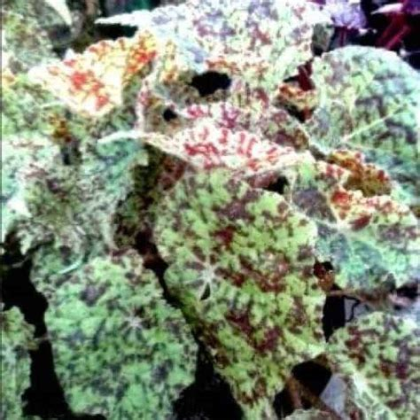 Jual Bibit Bunga Begonia jual bibit unggul tanaman begonia hijau bintik bibit