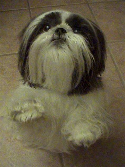 pretty shih tzu 235 best images about for the of shih tzu s on puppys ewok and sweet