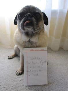 pug smells like corn chips when i smell i smell like corn chips when i smell bad i smell like a shrimp