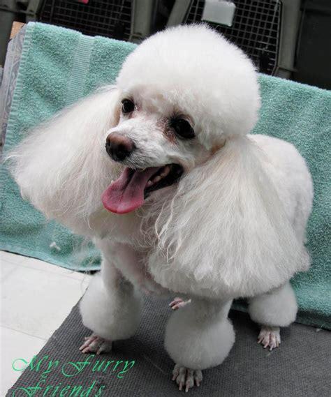 poodle with plain hair cut pinterest the world s catalog of ideas
