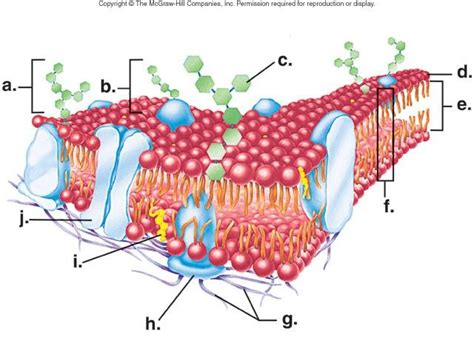 diagram of a cell membrane cell membrane structure diagram cell membrane biology