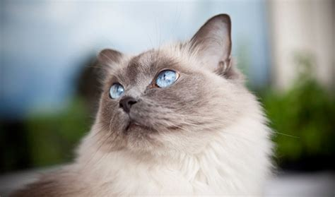 ragdoll cat breed cat pictures information ragdoll cat breed information