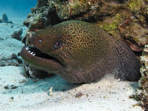 moray eel giant moray eels gymnothorax javanicusscubafish news