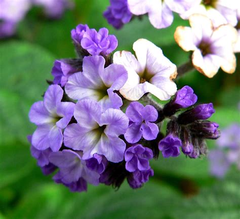 flower tropes home heliotrope following the sun