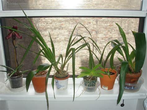 come mantenere le orchidee in vaso orchidee piante da interno cura orchidee come curare