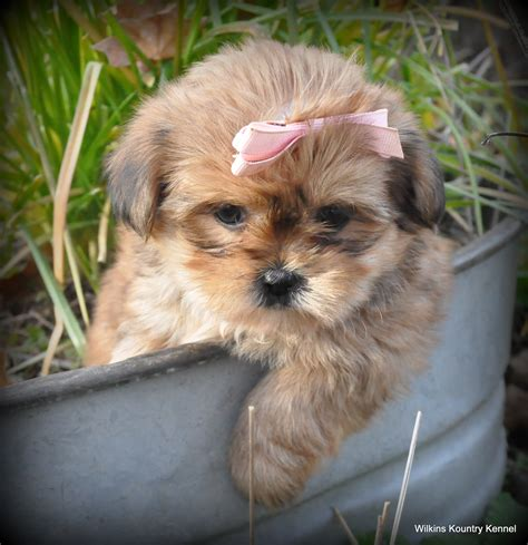 shih tzu puppies for sale in mo puppies for sale missouri