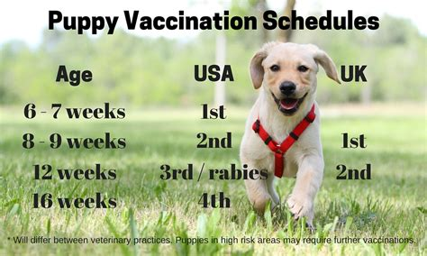 golden retriever vaccination schedule labrador puppy vaccination schedule india dogs in our photo