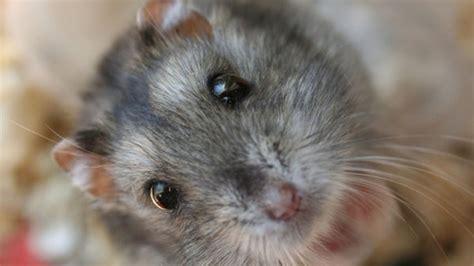 dwarf hamster wallpaper desktop hd wallpaper
