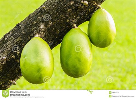 tree with gourd like fruit fruit from trunk of gourd tree stock photography image
