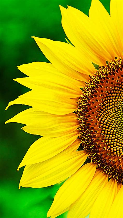 wallpaper for iphone sunflower photo collection sunflower iphone wallpaper images